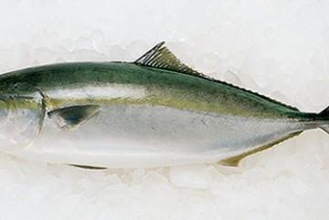 Cá Hamachi Nguyên Con